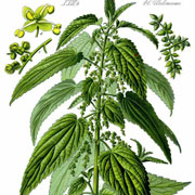 Herbal Spotlight~ Nettles